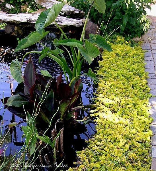 View picture of Golden Creeping Jenny, Gold Moneywort 'Aurea' (Lysimachia nummularia) at Dave's Garden.  All pictures are contributed by our community.
