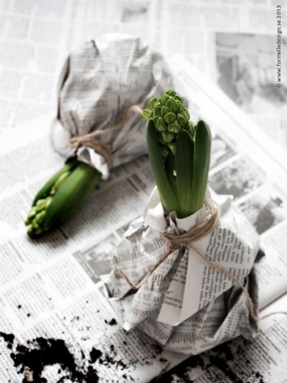 Frühlingsgefühle mit der Hyazinthe in einer Jacke aus Zeitungspapier