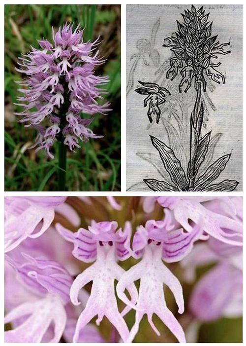Orchis italica 画