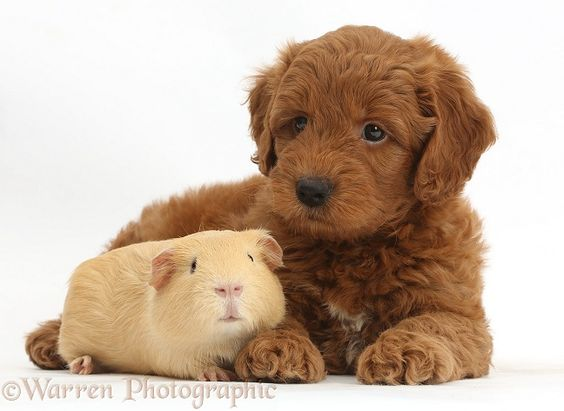Red F1b Goldendoodle p...