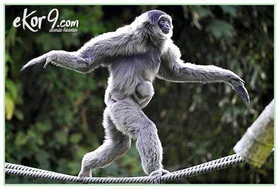 6 Perbedaan Kera Dan Monyet Yang Perlu Kamu Ketahui Dunia Fauna Hewan Binatang Tumbuhan Gambar Lucu Orangutan Primata