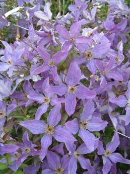 Clematis 'Sunny Sky'... love the pale lavender shade of this climbing beauty.