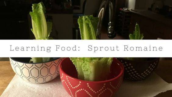 Sprout your own Romaine at home.
