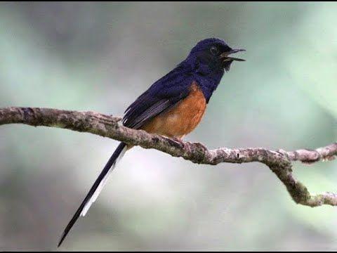 Jelas Nyaut Dan Gacor Bila Murai Batu Anda Dengar Suara Burung Super Jer Burung Suara Murai