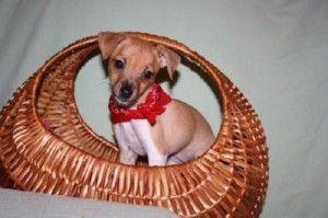 rat terrier puppies gainesville fl
