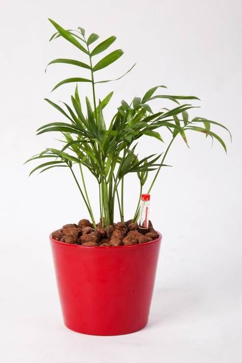 Rosliny Doniczkowe Oczyszczajace Powietrze Fot Fotolia7 Chamaedoreata Domowa Palma Nawilza Powietrze I Usuwa Z Niego Trujace Zw Plants Planters Planter Pots