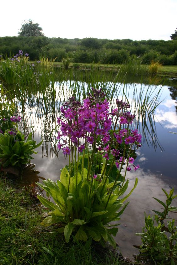 Primula in natural wildlife pond garden design by Jason Russell