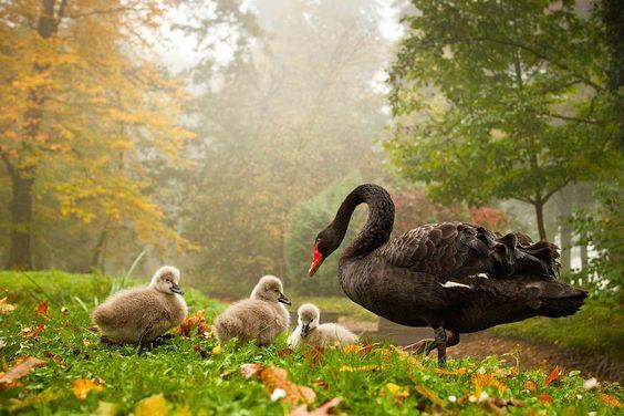 Black Swans & her chicks