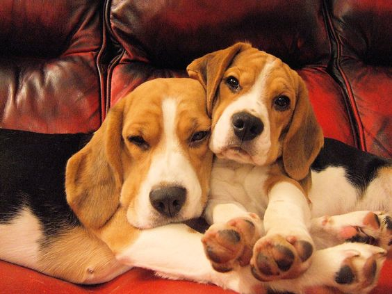 Beagles are soooo cuddly!