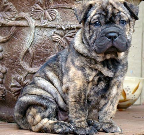 Bully Pei Englische Bulldogge Mini Shar Pei Zum Verkauf Auf