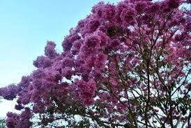 Resultado de imagem para ipê florido rosa