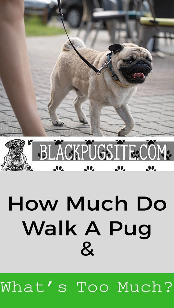 How Much Should You Walk A Pug Find Out What Every Pug Owner