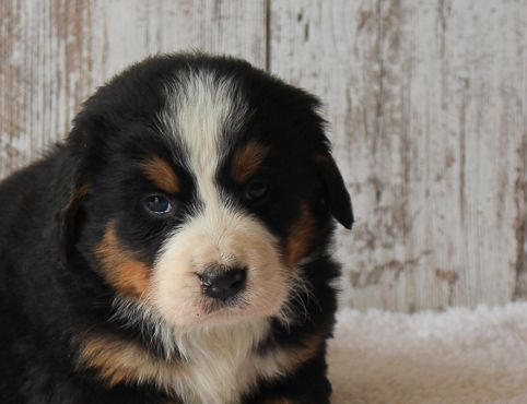 April Female Akc Bernese Mountain Dog For Sale In Harlan Indiana Pick Me Only If You Re Ready For Loads Of Fun I M With Images Puppies Puppy Litter Puppies Near
