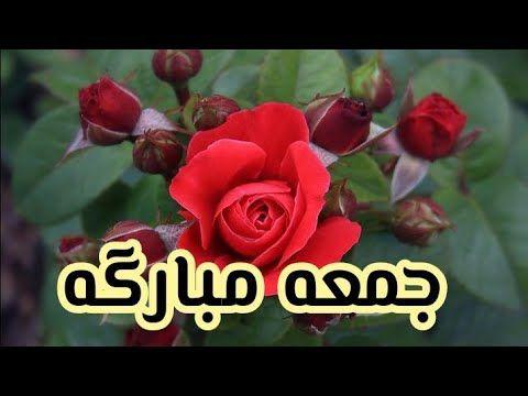 صباحيات الجمعه جمعه طيبه مباركه Youtube Rose Plants Flowers