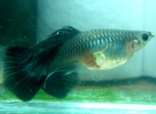 Moscow Long Dorsal Female Guppy - you can see the tiny babies ready to be born