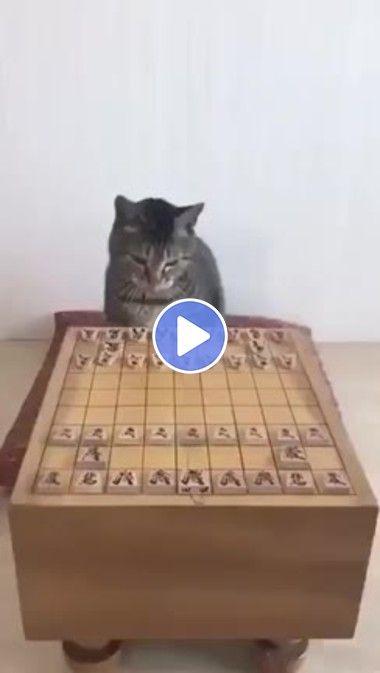 Jogando DAMA com meu gato