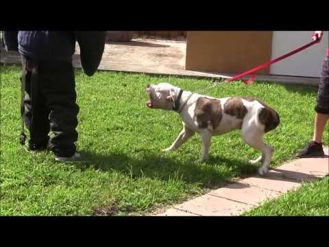 American Bulldog Has Lost His Mind Red Zone Dog Bites Miami Dog