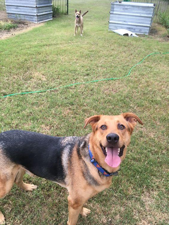 "Henry: ""Throw the tennis ball already!!!"" #GSD #Rescue #Dog"