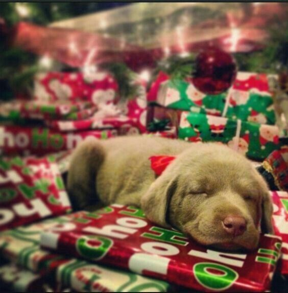 Pin By Jady Simmons On Labby Labs Christmas Dog Photography Dog Christmas Pictures Christmas Dog