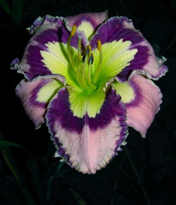 King Of The Hill Seedling Award » Full Form » 895-12847, seen at mydaylilies.com