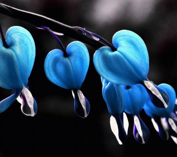 Blue bleeding hearts