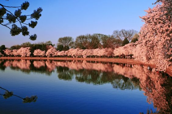 Tidal Basin Cherry Blossoms, Washington DC