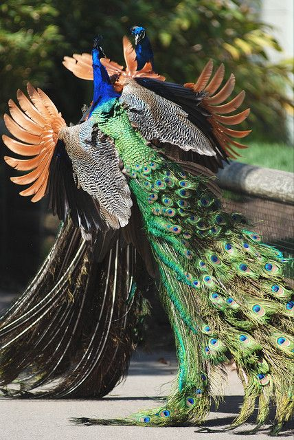 territorial peacocks??