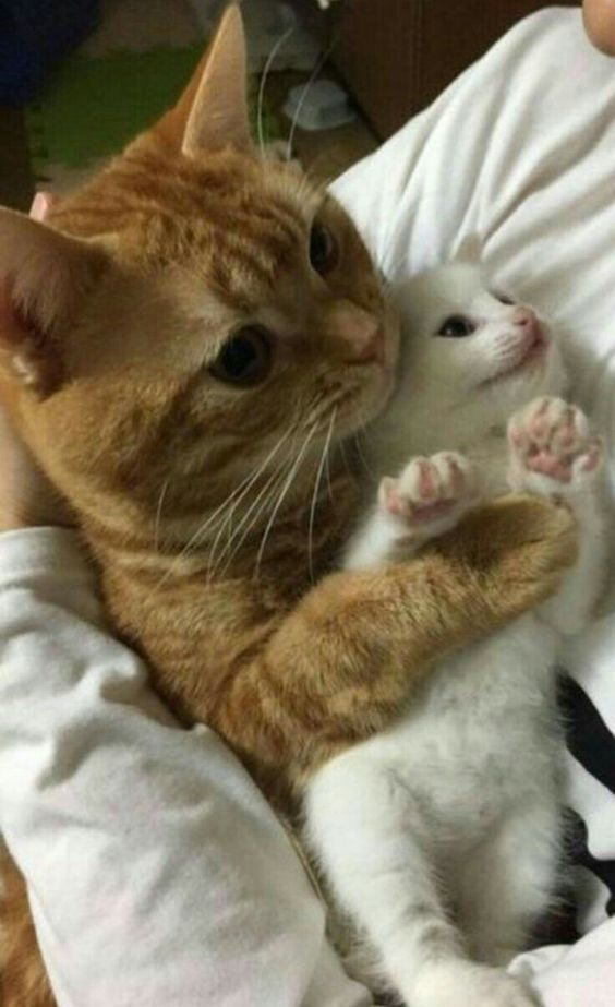 Ginger Cat Hugging A White Kitty Gingercat Whitekitty Twocats Hugs Cat Hug Pretty Cats Baby Cats