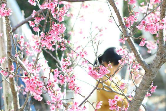 一足早い、沖縄のさくら。雑誌「おきなわいちば」での連載「暮らしを紡ぐおと。」今号も掲載していただいています。