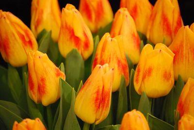 Tulipa triumph 'Wilbrink's Star' Tulip from ADR Bulbs