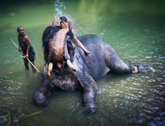 Orfanato dos elefantes de Pinnawala - #Pinnawala #Elephant #Orphanage - Sri Lanka #SriLanka