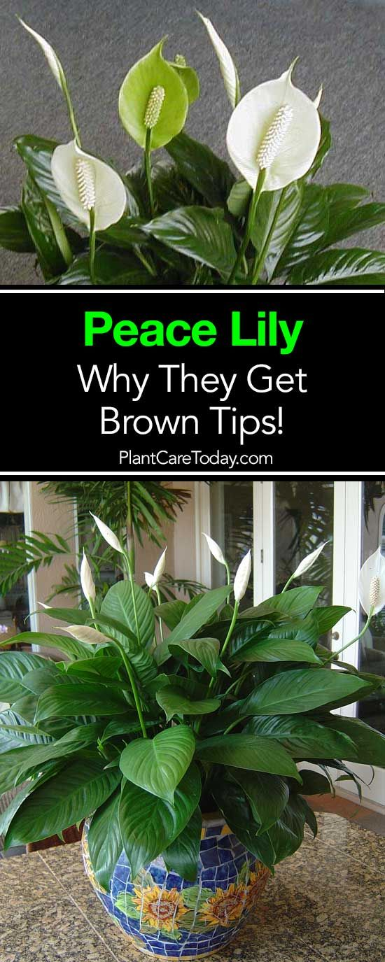 Why Do Peace Lily Get Brown Leaves And Tips Peace Plant Peace Lily Plant Lily Plants