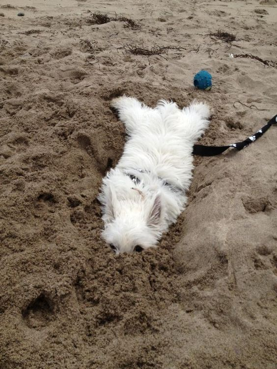 Love this picture, that is why I love Westies they have so much personality! Picture credit:Barbara Kenny-Simoneau