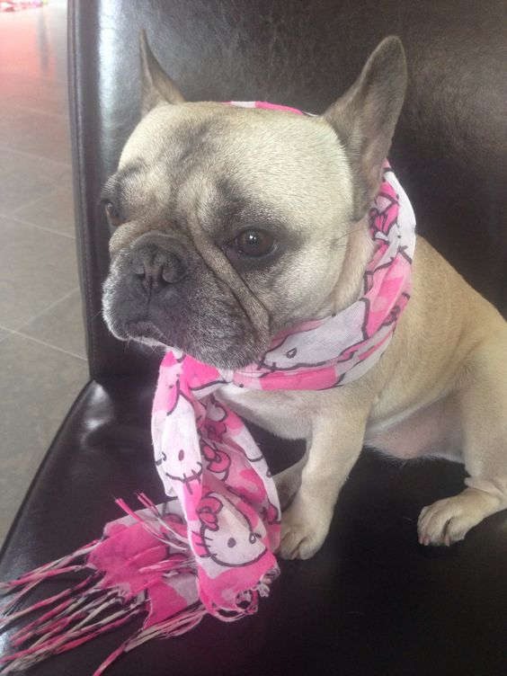 """""""Brrr it's cold in here""""... """"good thing I got my Hello Kitty Scarf"""", freeeeeeeezing French Bulldog ; )"""