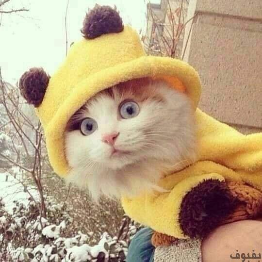 صور قطط صغيرة أجمل صور القطط الصغيرة في غاية الجمال بفبوف Cats Cute Animals Kittens Cutest