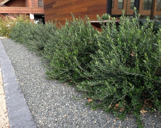 Olea 39 Little Ollie 39 Dwarf Olive Olea Montra I Like These Bushes Apple Courtyard Bushes