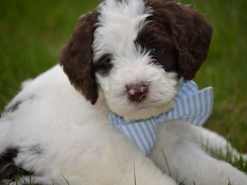 Chocolate White Mixed Breed Puppies Sproodle Puppies Springerdoodle