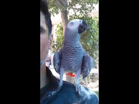 أضحك مع أذكى بغبغاء كاسكو شرفونا باشتراككم وتفعيل زر الجرس تحياتي لكم Youtube Parrot Animals