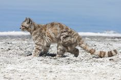 ANDEAN CAT (Leopardus Jacobita) - Yahoo Image Search results
