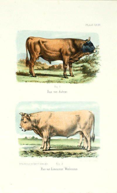 ANTIQUE PRINT-COW-BREED-LIMOUSINE-AUBRAC-CATTLE-1865
