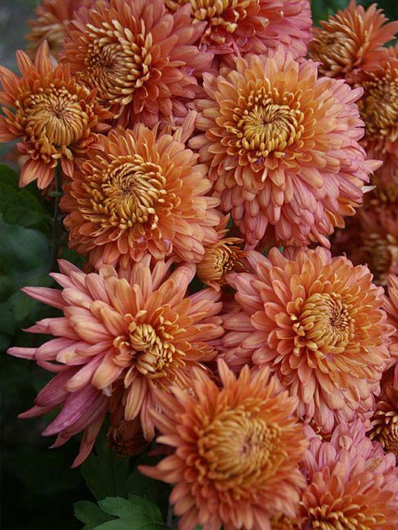 Mum Coral Cavalier (Mum Football Style Chrysanthemum)