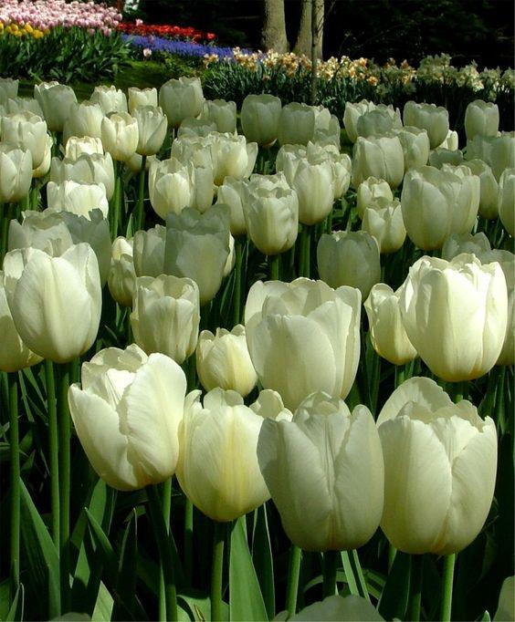 Tulip Pays Bas - Triumph Tulips - Tulips - Flower Bulb Index