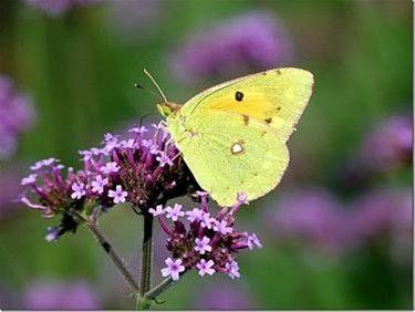 vlinders - Google zoeken: