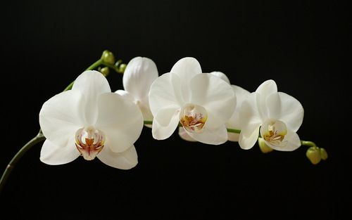 The Petals Of Dorian Gray Article On Oscar Wilde S The Picture Of Dorian Gray And The Language Of Flowers Orchid Wallpaper Orchid Flower White Orchids