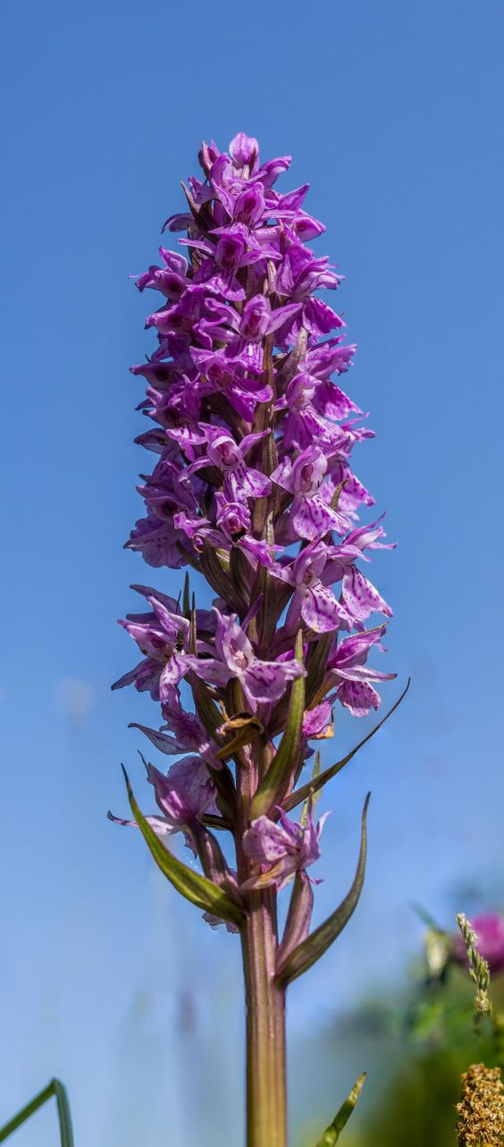 Leopard Marsh Orchid by Sake van Pelt on 500px