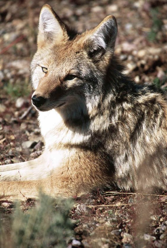coyote spirit animal - Google Search