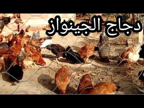 تربية دجاج الجينواز Youtube Meat Beef