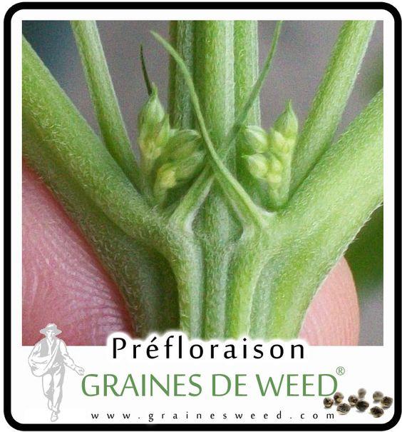 Spotting Male Cannabis Plants | Mâle ou femelle cannabis? Ici on voit la plante masculin
