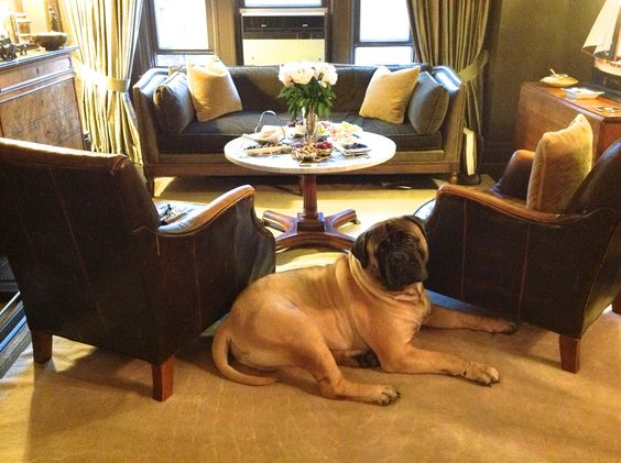 Titus the Bullmastiff was the most handsome and well mannered guest at this dinner party! #bullmastiff #mastiff #dogs #breeds #dogs101