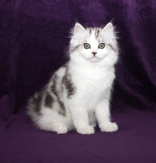 Ragamuffin Kitten For Sale Ragamuffin Kittens Ragamuffin Cats